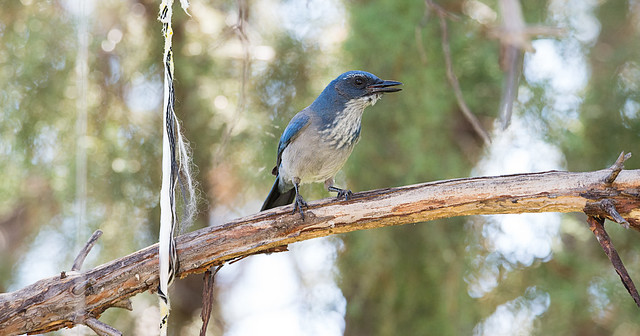 Scrub Jay on Branch 1