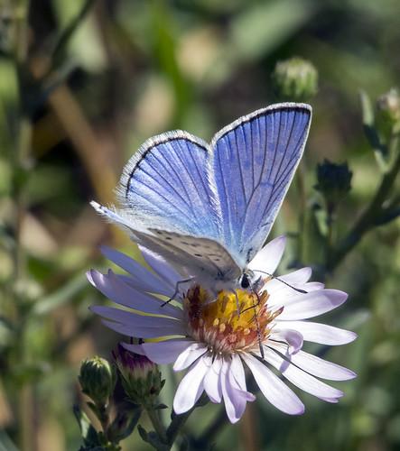 Tetons butterflies 399 (106b)