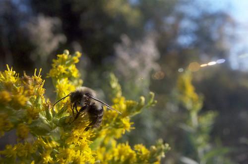 Bumblebee & Goldenrod 1