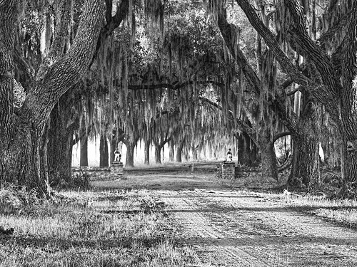 monochrome blackwhite southcarolina plantation spanishmoss beaufort oaktrees oakavenue beaufortcounty explored coosaw avenueofoaks coosawplantation