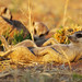 Lounging Meerkat by rpgold