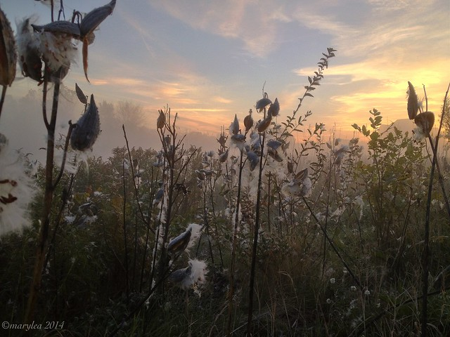 Milkweed, October 10, 2014.