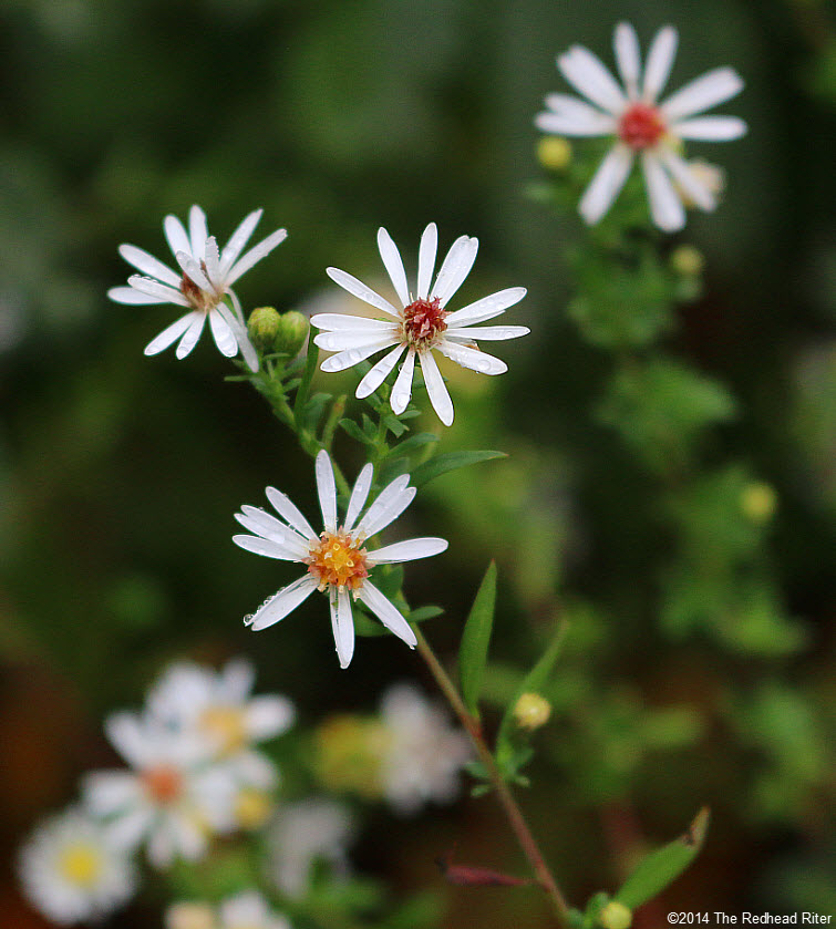 small wild white daisy like flowers