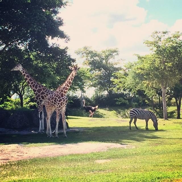 #zebra #ostrich #giraffes #zoomiami #zoo #miami #animals
