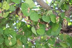 shrub(0.0), flower(0.0), hardy kiwi(0.0), plant(0.0), branch(1.0), leaf(1.0), tree(1.0), produce(1.0), fruit(1.0), food(1.0), coccoloba uvifera(1.0),