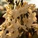 narcissus papyraceus 8w-w, narcissus w-w, oneplant, trumpetwhite - daffodil parts, jdy329 XX201111254668.jpg