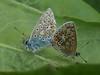 Common Blue Butterflies