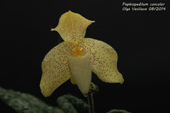 Paphiopedilum concolor