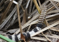 Diamond-back Rattlesnake - Tail End