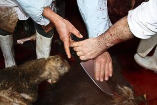 Crudeltà rituale - la violenza della macellazione rituale halal