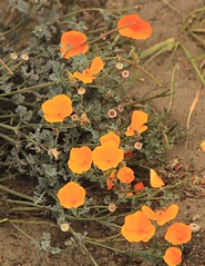 annual plant, eschscholzia californica, flower, leaf, plant, nature, wildflower, flora, coquelicot, petal, poppy,