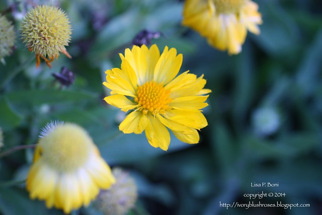2014.10.03BlanketFlower