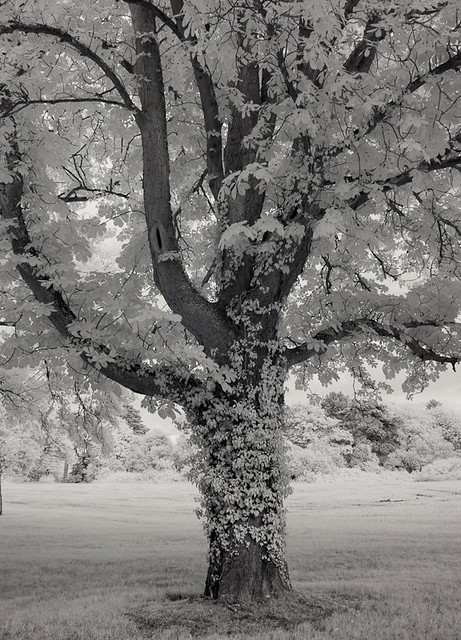 3681 Tree - Infrared