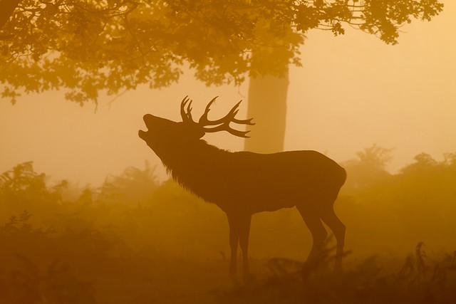 Red Deer Stag, Richmond Park