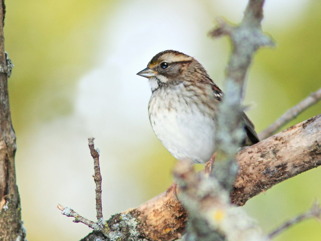 White-throated Sparrow 20141009