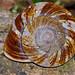 Small photo of Land Snail (Bertia brookei)