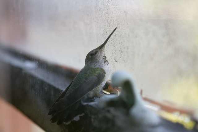 Hummingbird, lodged between two window panes (2014)