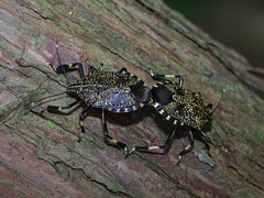 黃斑椿象常出現在社區行道樹上。此為交尾中的成蟲。(圖片攝影:李鍾旻)