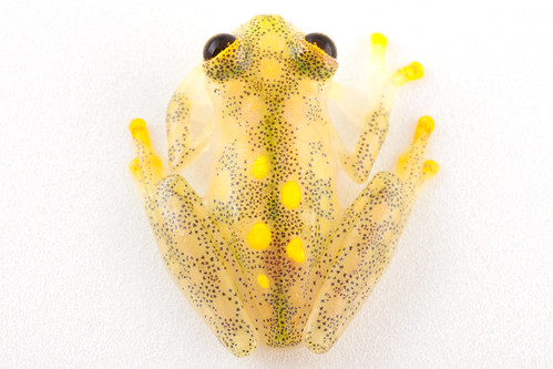 <i>Hyalinobatrachium aureoguttatum</i> Rana de cristal del sol