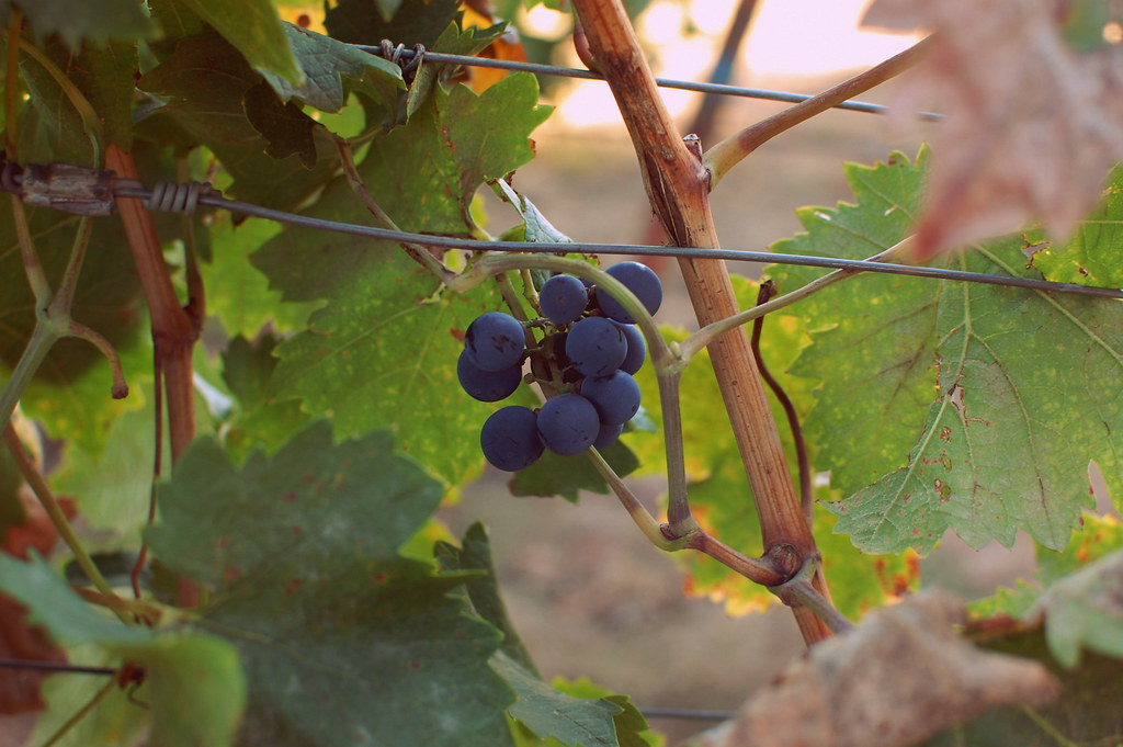 winegrapes-001