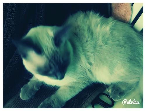 Cat Minicats Lindo Gatito Riograndezacatecas
