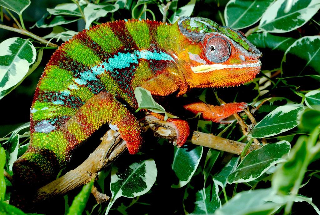 Panther Chameleon_2