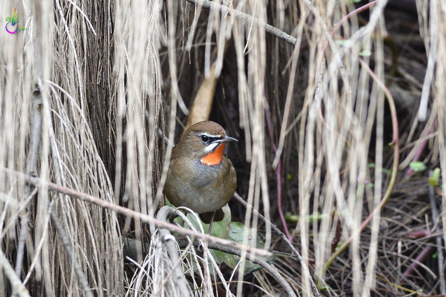 Rubythroat_7460