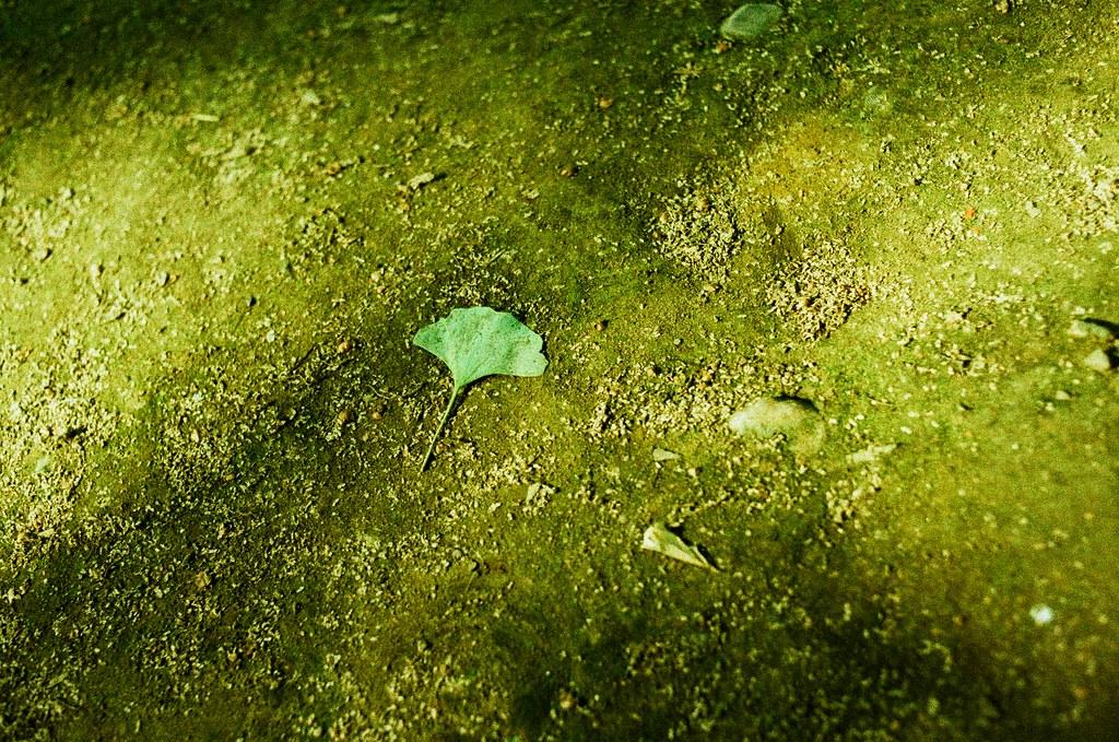 鬼子母神社 Tokyo, Japan / Lomography Slide, XPro / Nikon FM2 之前在她的相機裡也留了一張銀杏葉的畫面,只是那時候還不太用會 Lomo 系列的相機,所以那張曝光不足。  這次在同一個地方剛好又有一片落下,深呼吸一口氣、拍下!  Nikon FM2 Nikon AI AF Nikkor 35mm F/2D Lomography Slide / XPro 200 ISO 35mm 4942-0012 2016/05/22 Photo by Toomore