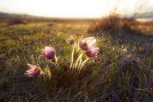 Prairie Crocus morning dew