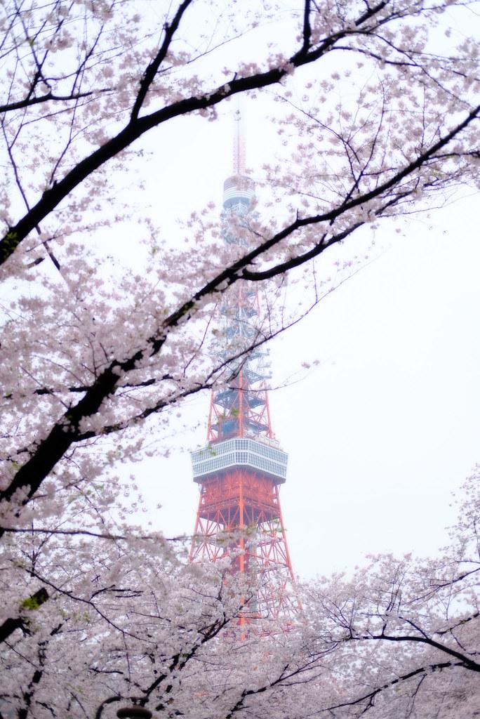 tokyo tower & sakura