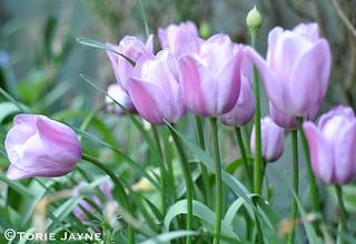 Tulip Violet Beauty