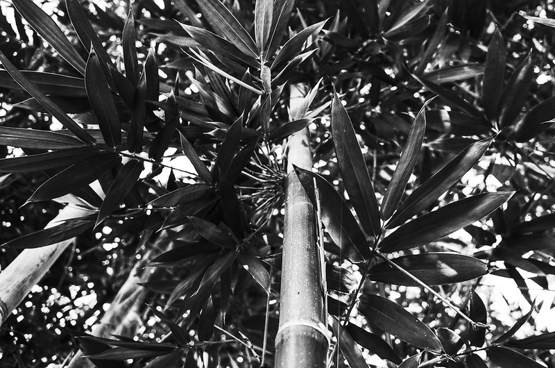 Looking up at bamboo