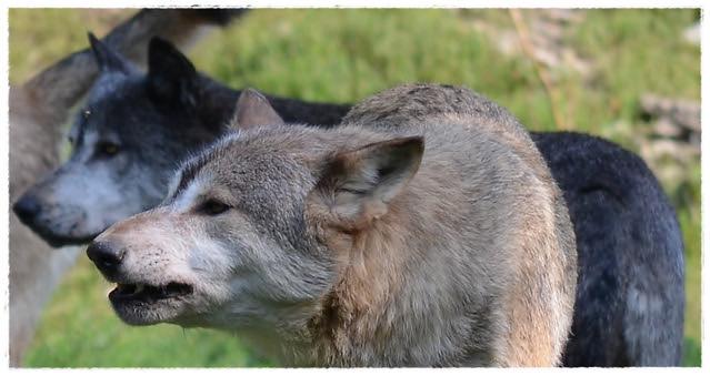 The leading pair - Tundra wolfs - bright and dark . Sibirischer Wölfe - hell und dunkel.