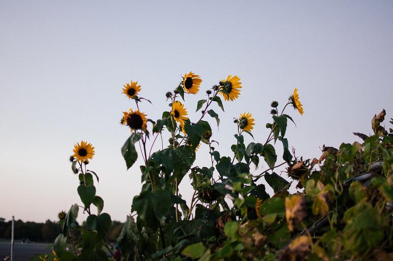The last sunflowers