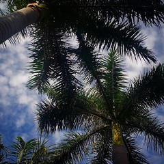 Greetings from #Sunny #BocaRaton #Florida #PalmTree #Sky #SunnyDay #Clouds