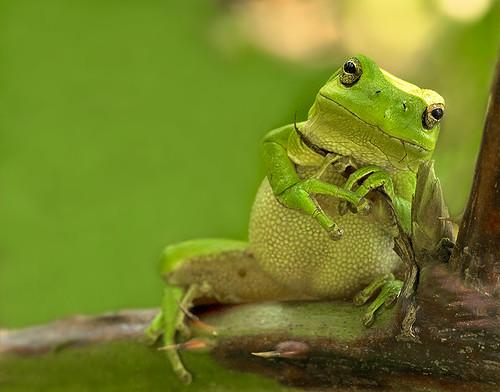 Boomkikker / Tree frog / Rainette verte