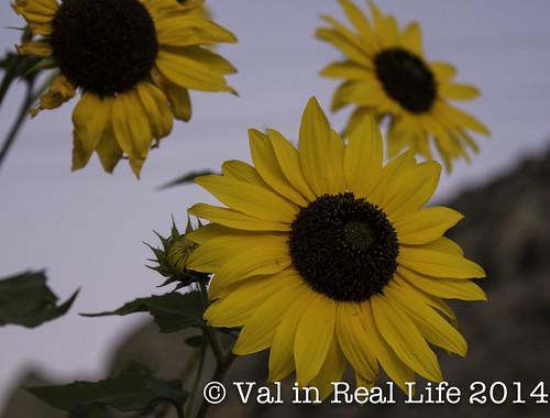 Nevada Sunflowers