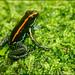 Golfo Dulce Poison-Dart Frog (Phyllobates vittatus)