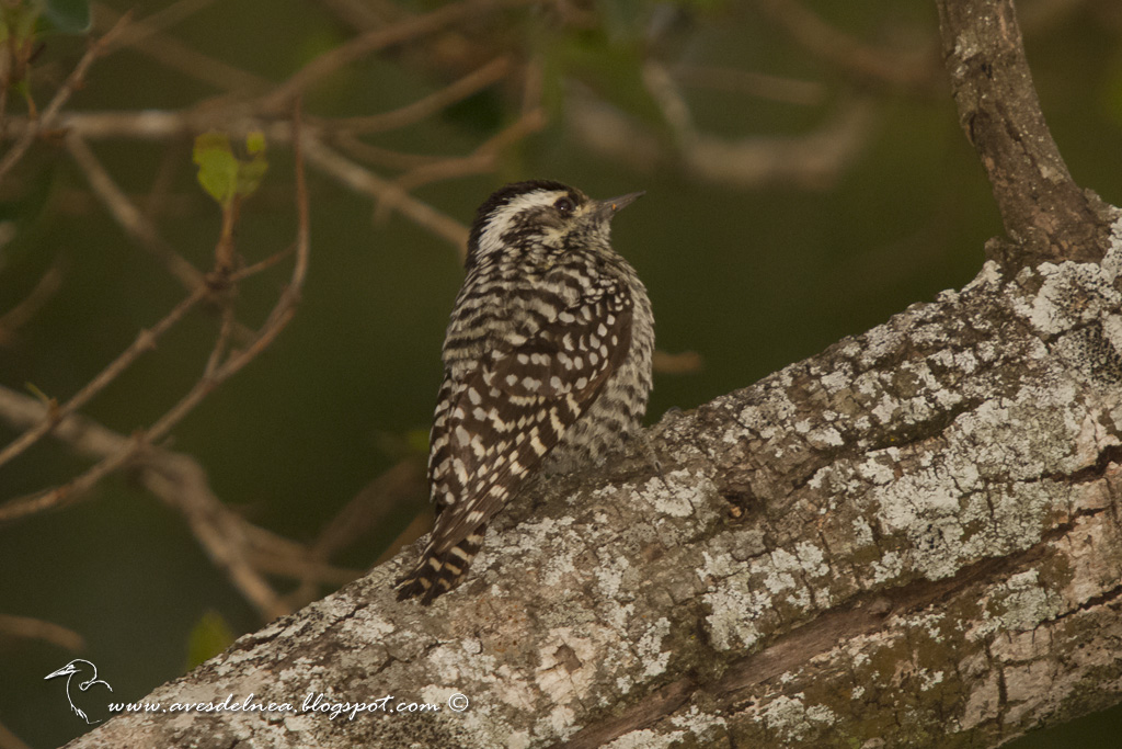 Carpintero bataraz chico (Checkered Woodpecker) Picoides mixtus