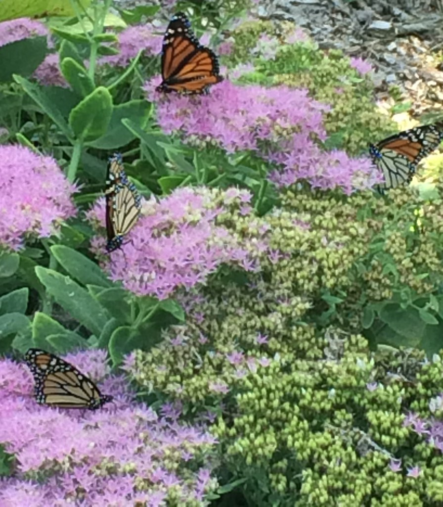 monarch butterflies migrating through a Nebraska garden