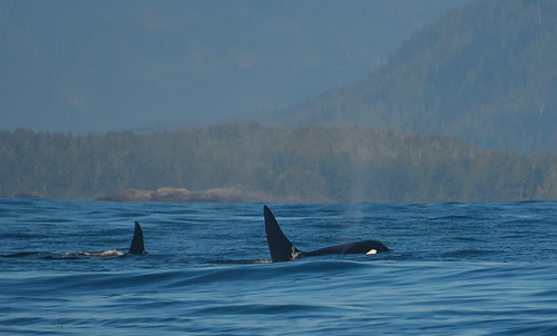 <p><i>Orcinus orca</i>, Delphinidae<br /> Inshore Waters, off Tofino, British Columbia, Canada<br /> Nikon D5100, 70-300 mm f/4.5-5.6<br /> September 20, 2014</p>