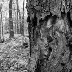 Old birch tree