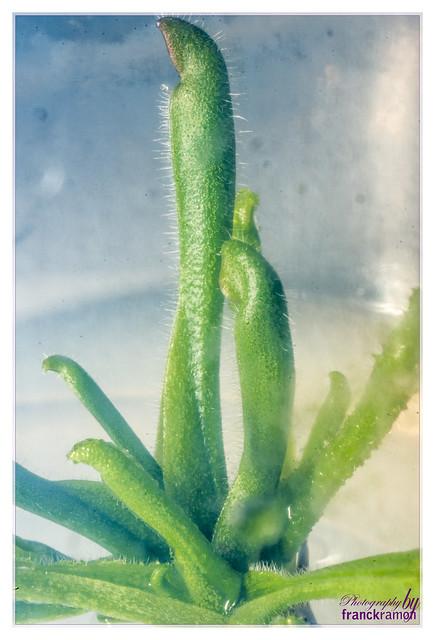 Heliamphora heterodoxa in vitro 15248834189_70381ca839_z
