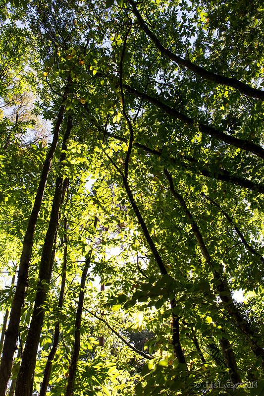 Sunlight through the sweet chestnut leaves