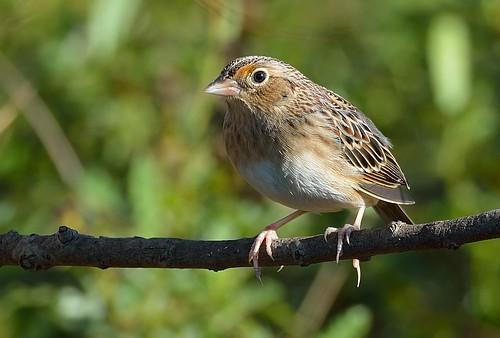 sparrow grasshopper ammodramussavannarum