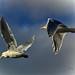 Inland Gulls 7