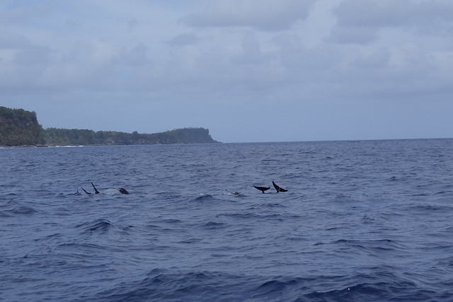 09242014 Rough Toothed Dolphins (1)