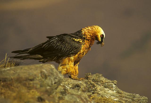 Bearded Vulture - Giant Castle 010001