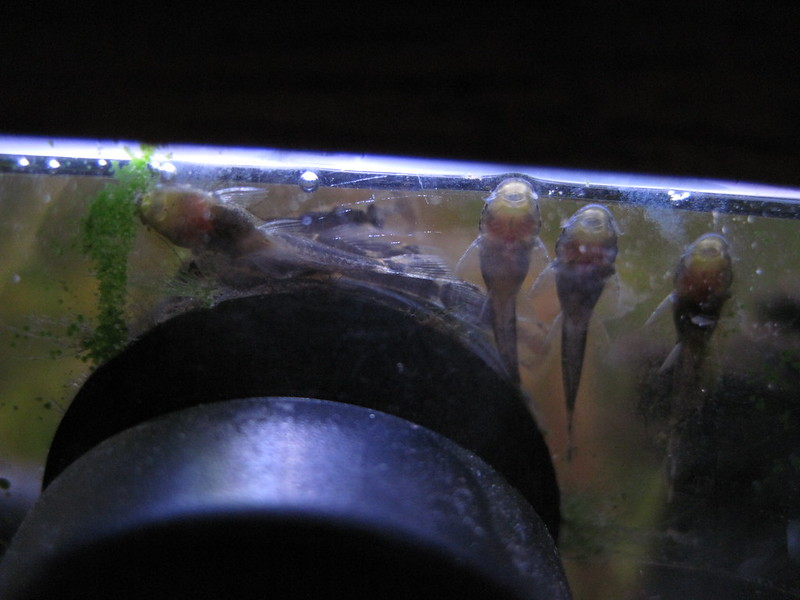 Close-up of the underside of very small suckermouth catfish