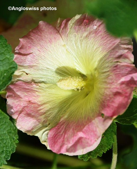 The biggest hollyhock